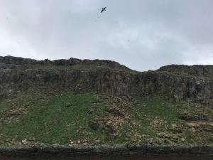 Costa de Grímsey, frailecillo volando y cientos detrás