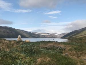 Ovejas en el fiordo